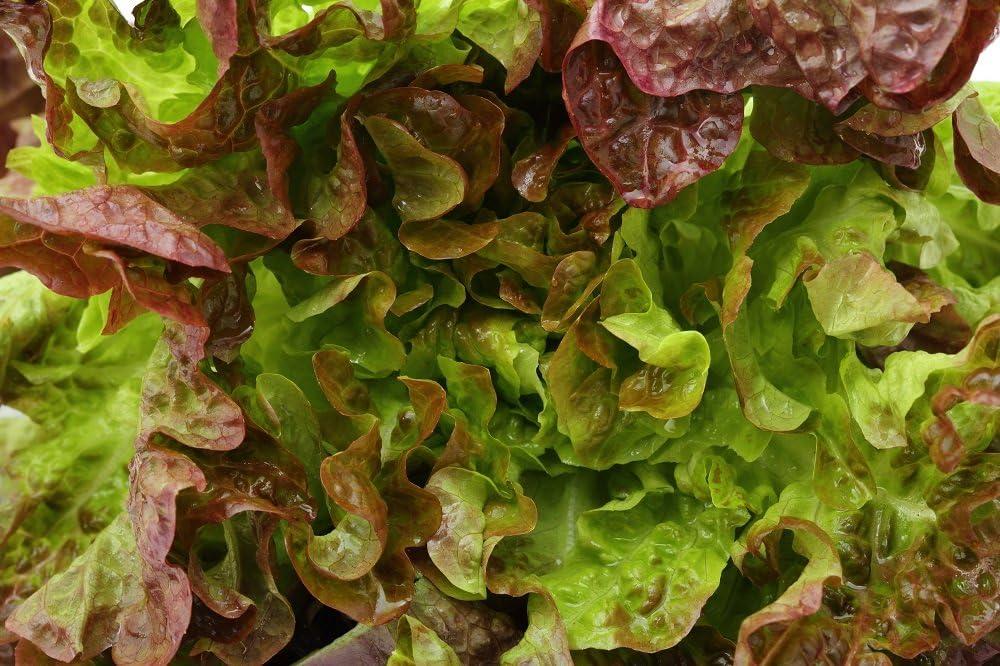BIO - Lechuga mantecosa - semillas orgánicas certificadas - 450 semillas