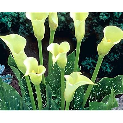 'White' (Calla Lily) 3 Bulb Quality: Garden & Outdoor