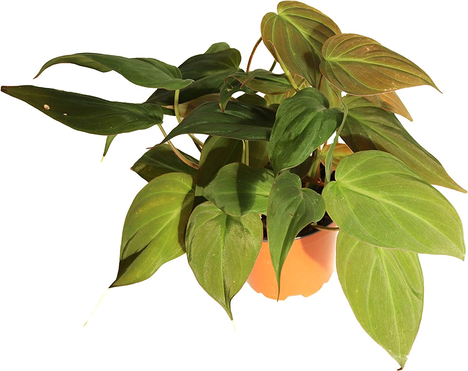 Amazon Com Philodendron Micans 4 From California Tropicals Garden Outdoor Philodendron micans, also called velvet leaf philodendron, does not have glossy, green leaves like the usual heart leaf philodendron. amazon com philodendron micans 4