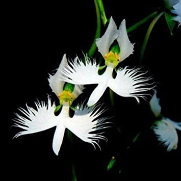 Amazon worlds rare flower japanese radiata seeds for garden worlds rare flower japanese radiata seeds for garden home planting white dove orchid seeds mightylinksfo
