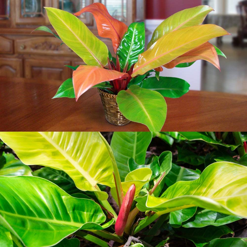 Cottage Hill Philodendron 'Prince of Orange' - 2 Piece Live Plant, Green