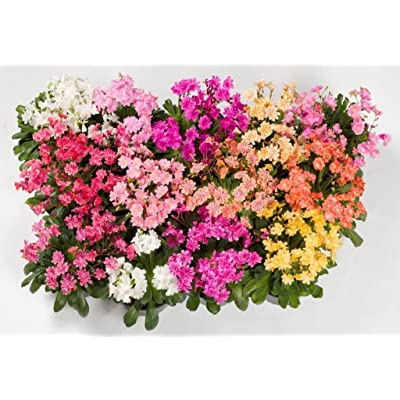 20 LEWISIA Cotyledon-Hybr. [Galaxy Mix) Excellent in containers : Garden & Outdoor