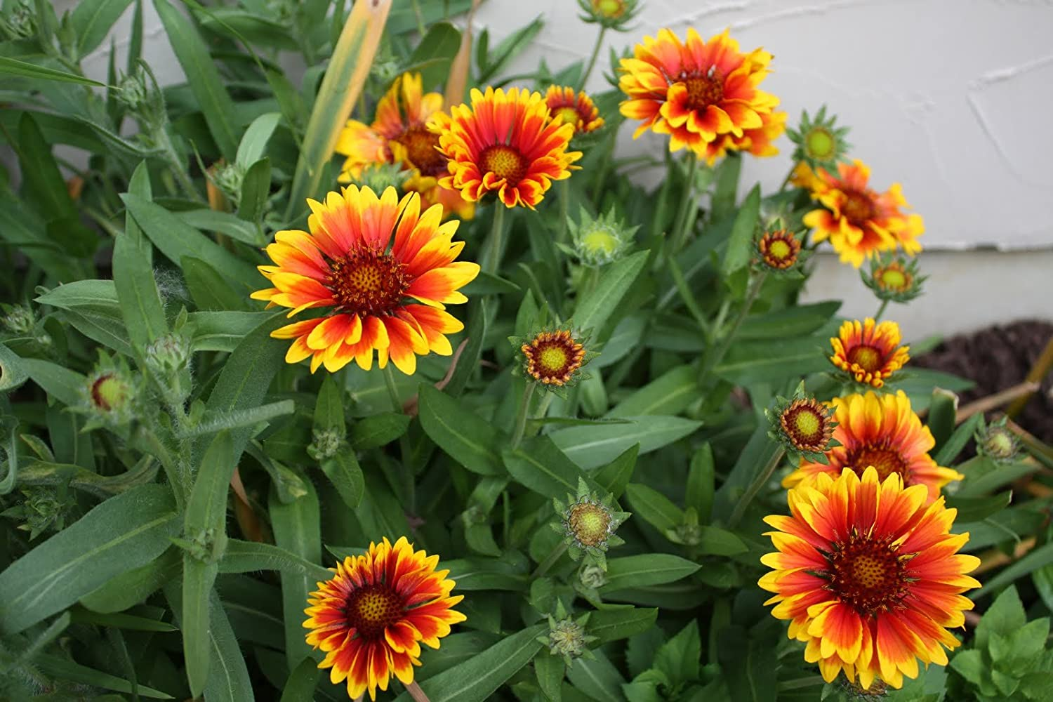 Amazon Arizona Sun Gaillardia Dwarf 25 Perennial Seeds