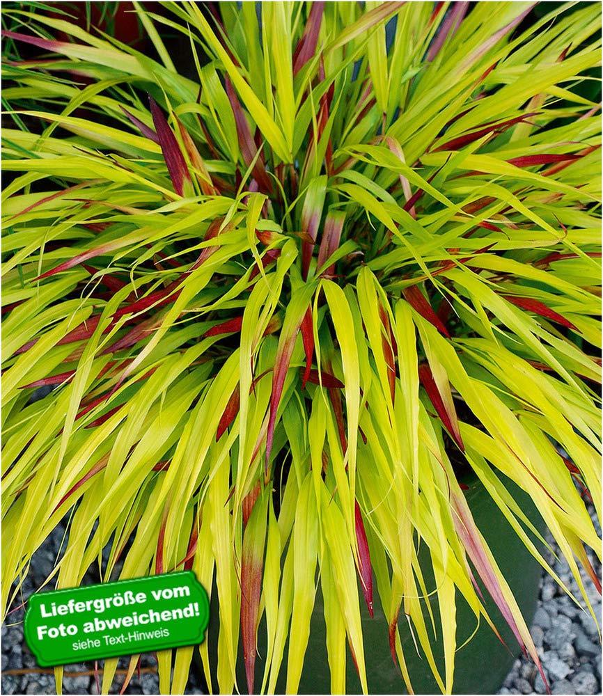 BALDUR-Garten Japanisches WaldgrasSunFlare/®,1 Pflanze