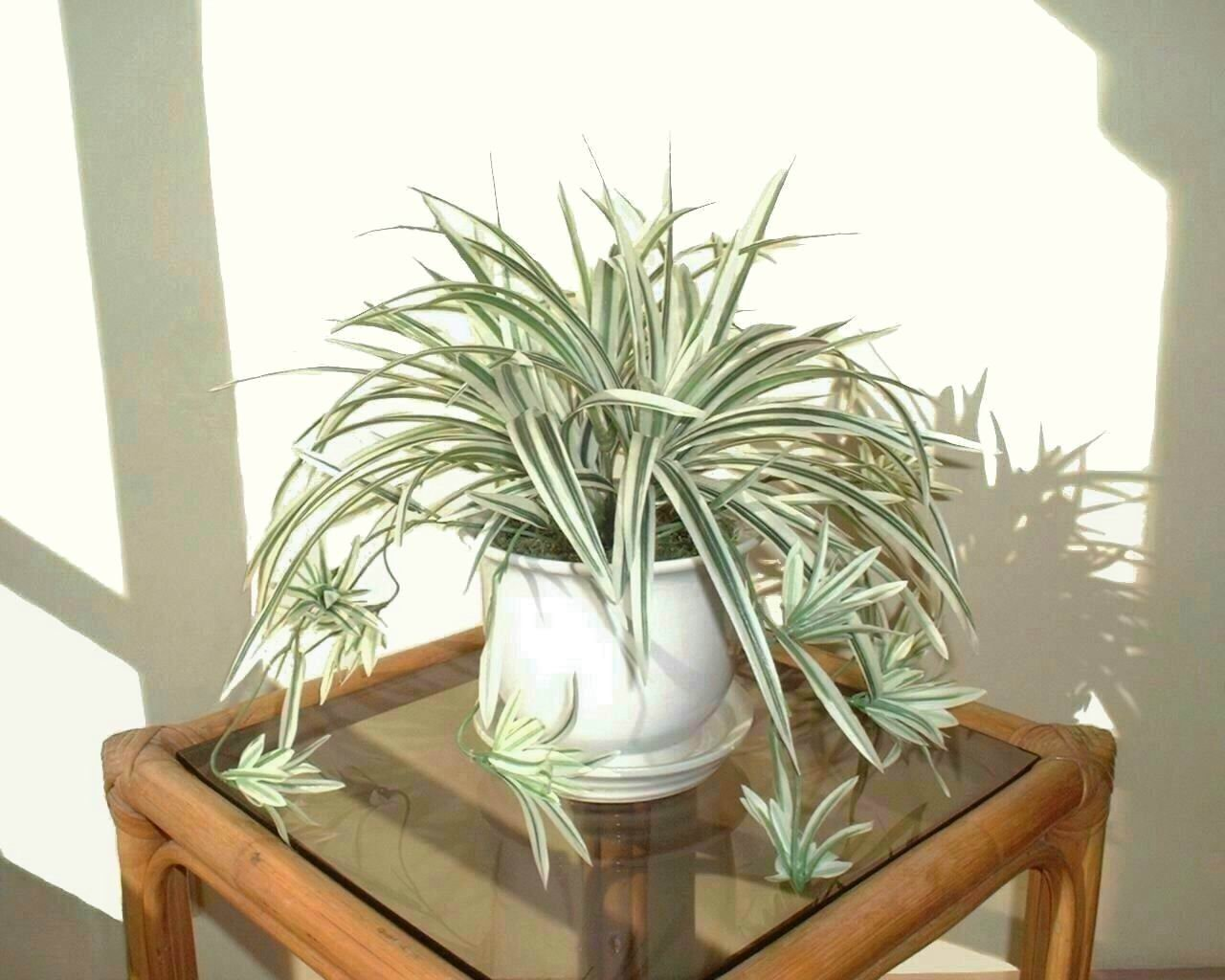 Green Spider Plants Chlorophytum comosum Young daughter plants SINGLES