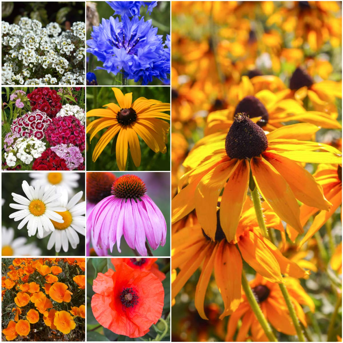 Seed Needs, Dryland Wildflower Mixture (20 Species) 30,000 Seeds Fresh & Untreated