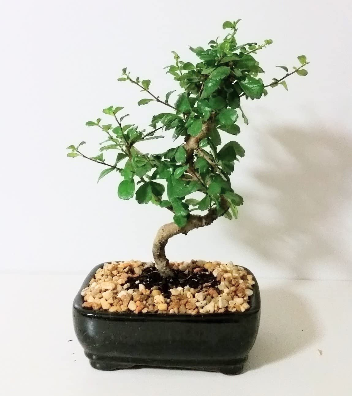 Amazon Com Imported Fukien Tea Bonsai Tree By Sheryls Shop Garden Outdoor