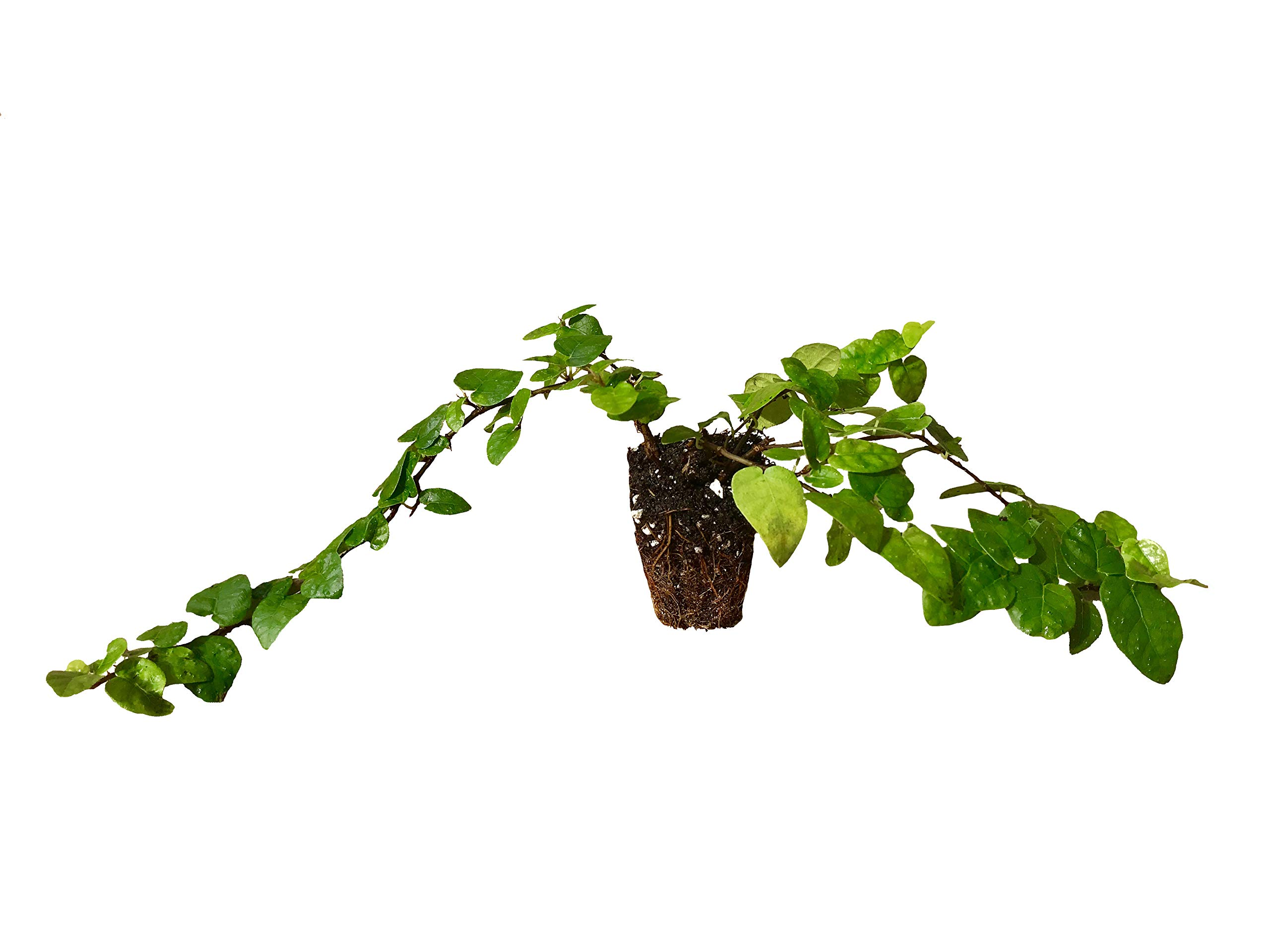 Creeping Fig Vine - Ficus Pumila - 10 Live Fully Rooted Plants - Climbing Ivy by Florida Foliage (Image #1)