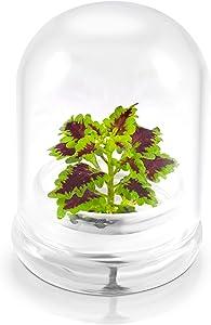 "Rainbow Floral Terrarium - Self Grow, Maintenance Free -Coleus - 4"" Dome"