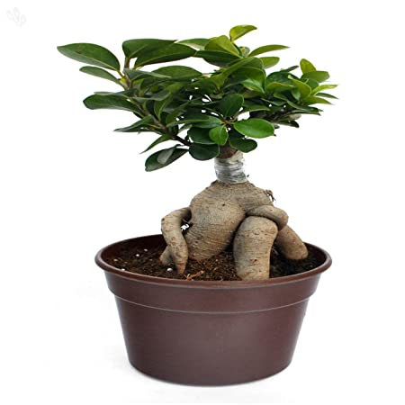 Exotic Green Ficus Microcarpa 3 Year Old Bonsai, Natural Indoor Plant Indoor Bonsai Plants at amazon