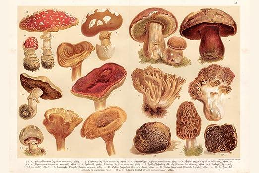 Mushrooms Lithograph 1888 Art Print Poster 12x18