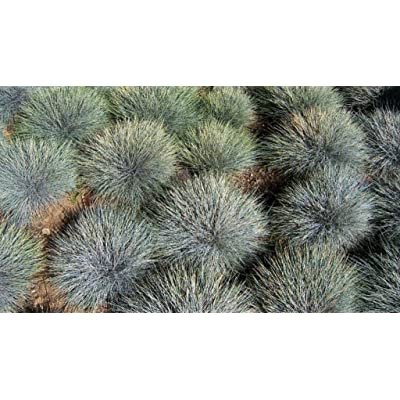 Festuca Glauca, Blue Fescue, Native Grass (3) : Garden & Outdoor