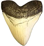 5.5 Inch Ivory Megalodon Tooth Replica with Serrations! Top Quality Resin Replica - Shark Tooth