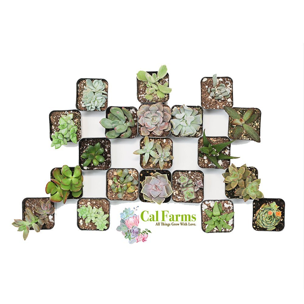 CAL Farms 2'' Beautiful Assorted Variety Succulents for Weddings or Party Favors or Succulent Gardens (Pack of 36) by CAL Farms