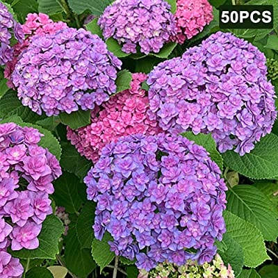 WskLinft 50Pcs Hydrangea Ornamental Plant Flower Seeds Garden Yard Patio Bonsai Decor for Planting for Indoor and Outdoor All Seeds are Heirloom, 100% Non-GMO! Purple White Hydrangea : Garden & Outdoor
