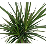"Madagascar Dragon Tree - Dracaena marginata - 4"" Pot - Easy to Grow House Plant"