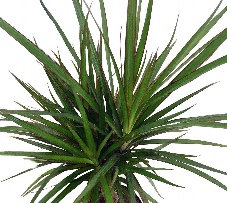 Madagascar Dragon Tree - Dracaena marginata - 4'' Pot - Easy to Grow House Plant