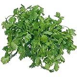 Futaba® Cilantro Chinese Parsley Coriander Pure Natural Organic Vegetable 200 Seeds
