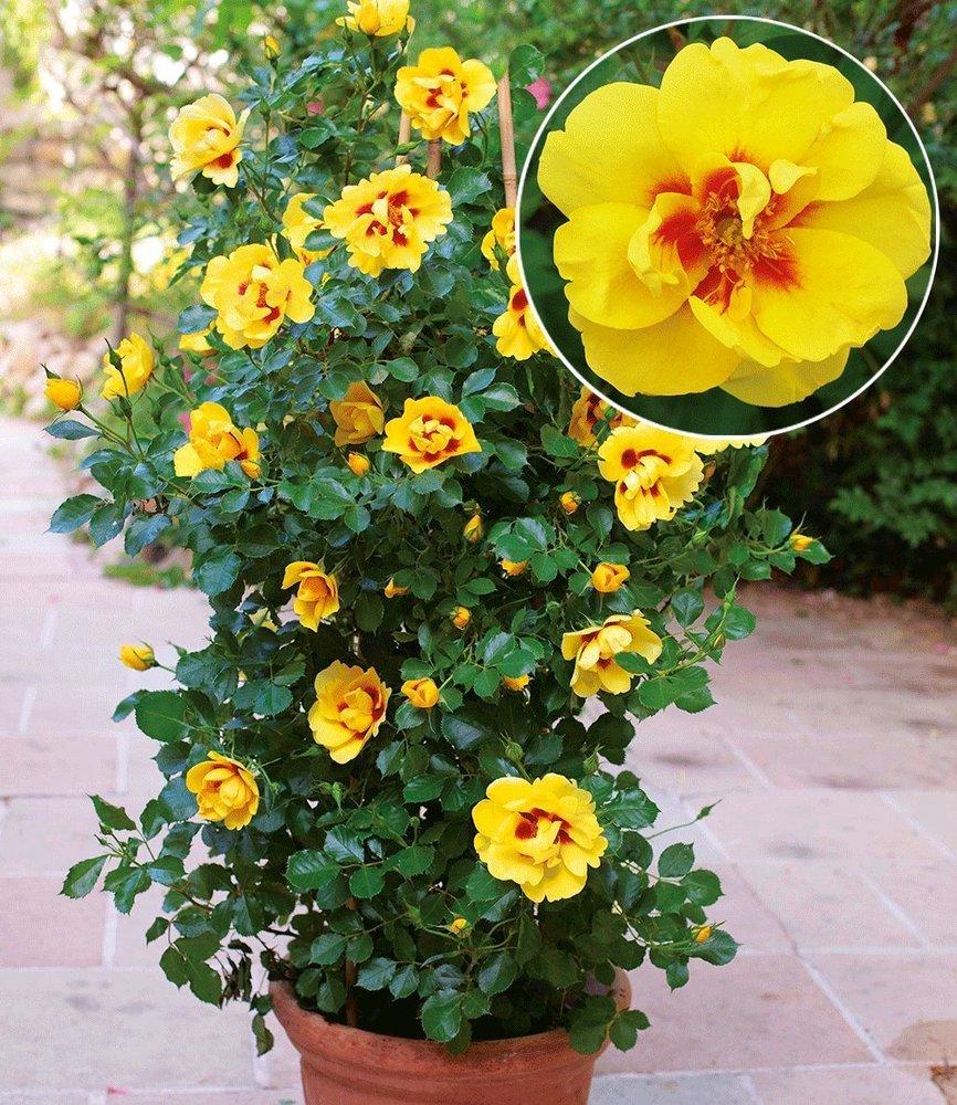 BALDUR-Garten Rosen-Rarität \'Eyeconic®\', 1 Pflanze gelbe ...