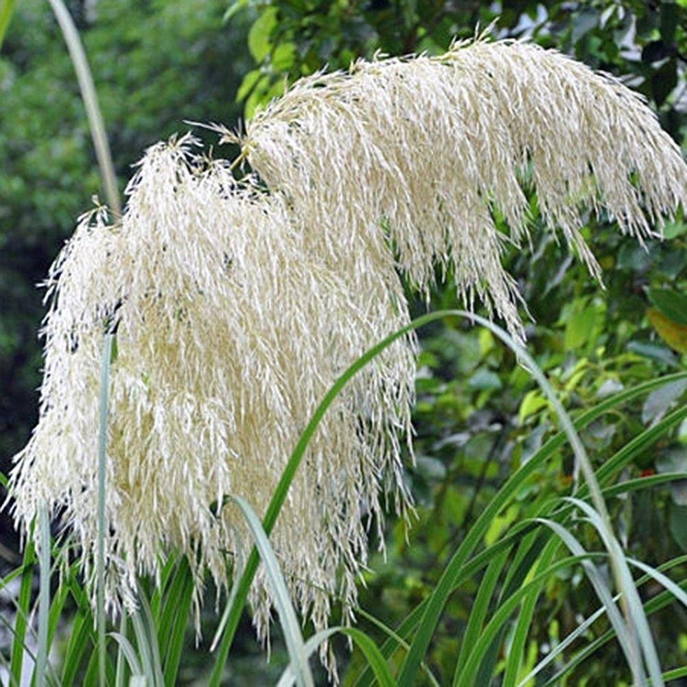 Delaman 300pcs Rare Pampas Grass Seeds Ornamental Plant Flowers
