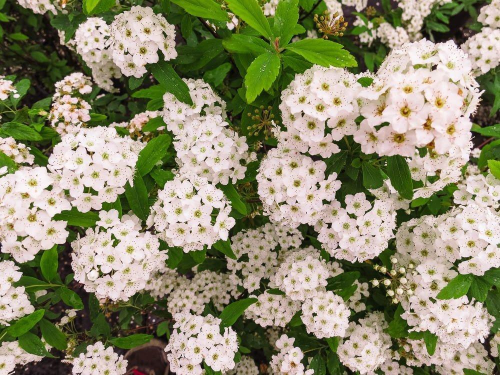 Bridal Wreath SPIREA - Size: 1 Gallon, Live Plant, Includes Special Blend Fertilizer & Planting Guide by PERFECT PLANTS (Image #2)