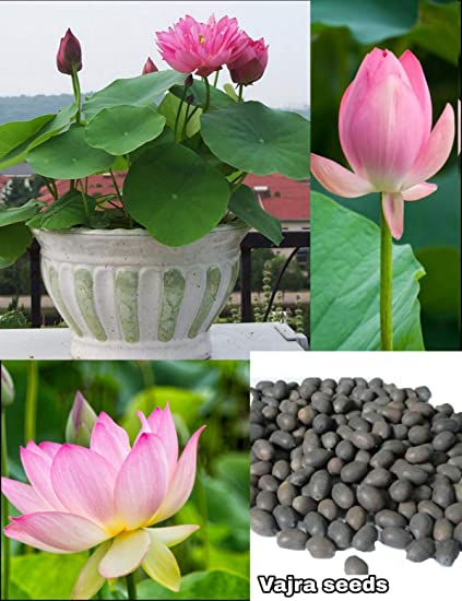 Lotus Flower Seeds Pink Color Original Breed 5 Seeds Packet Amazon