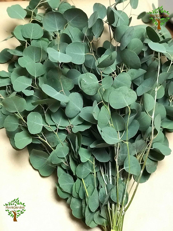 Amazon.com: Fresh Cut Eucalyptus Silver Dollar - Greens Foliage ...