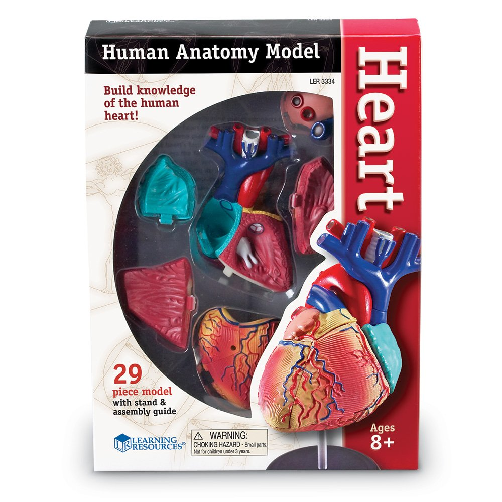 Learning Resources Heart Model Toys Games Diagram Click For Details Show Me A Of The Human