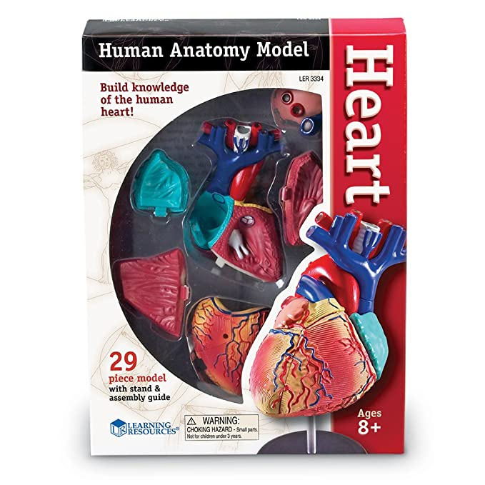 Learning Resources Heart Anatomy Model: Amazon.co.uk: Toys & Games