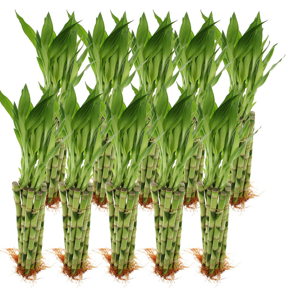 NW Wholesaler - 12'' Straight Lucky Bamboo Bundle of 100 Stalks