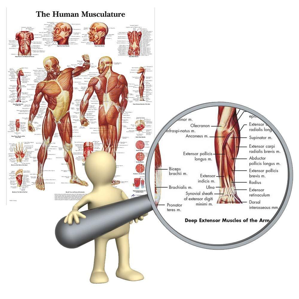 Amazon Welliestr 1 Piece Human Anatomy Muscles System Art Silk