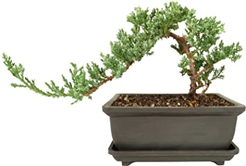 Delicieux Dallas Bonsai Gardenu0027s Juniper Bonsai Tree   Windswept Design
