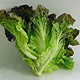 Lettuce, Red Leaf Romaine Lettuce Seeds, Organic, NON-GMO, 50+ seeds per package, Healthy Hearty , A great addtion to any salad.