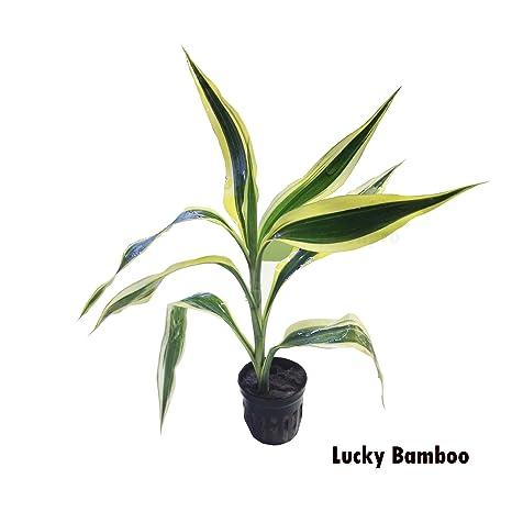 Lucky bambú Dracaena en maceta Planta acuática para Acuario Tanque de peces de agua dulce por
