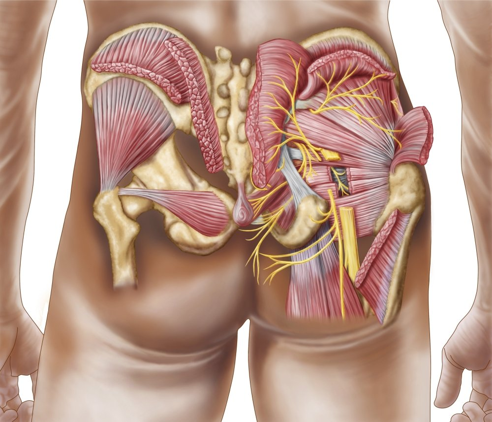 Amazon Anatomy Of The Gluteal Muscles In The Human Buttocks