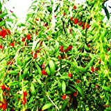 50 Organic HIMALAYAN TIBETAN GOJI BERRY WOLFBERRY FRUIT Bush Lycium Barbabarum Seeds