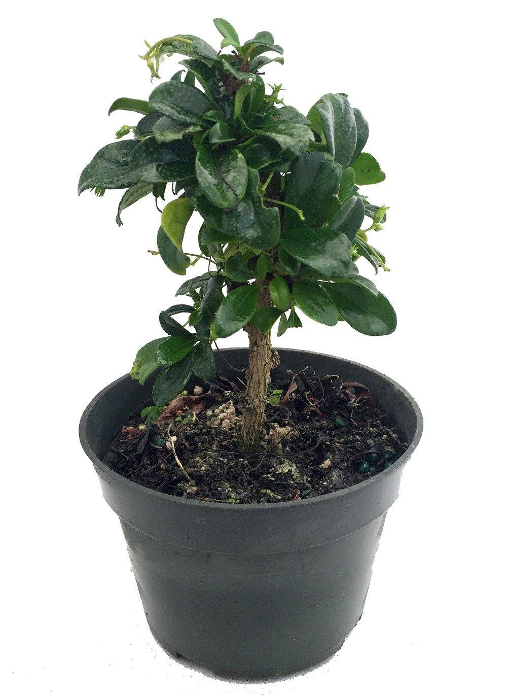 Fukien Tea Bonsai Tree - Carmona - 6'' Pot - Indoor Houseplant