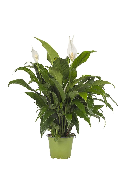 Pianta vera fiorita ornamentale GIGLIO DELLA PACE SPATHIPHYLLUM 'EVERGREEN' - SPATIFILLO Ø 17 cm - h 45 cm VEG SRLS