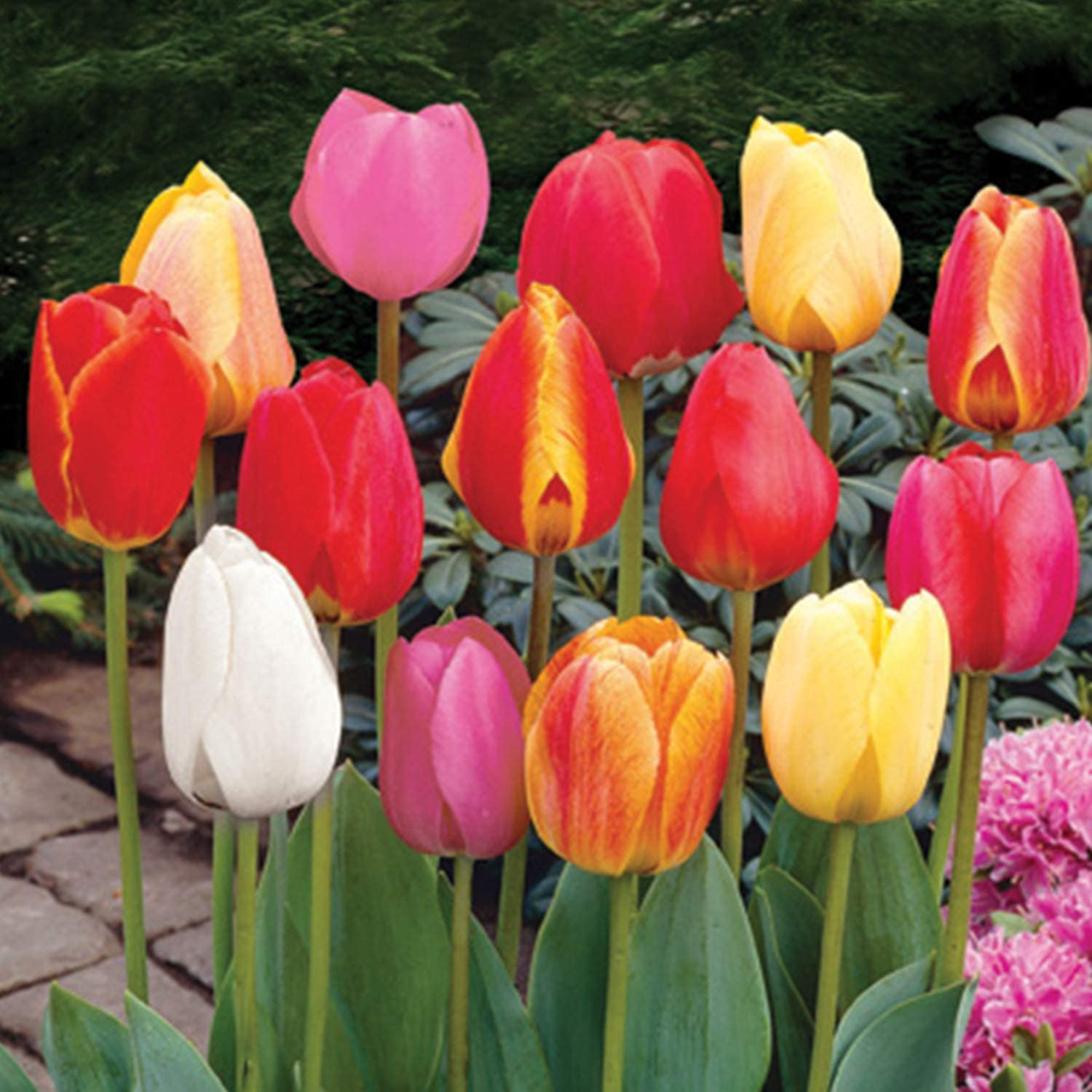 Burpee Perennial Tulip Mix | 20 Large Flowering Fall Bulbs for Planting, Multiple Colors