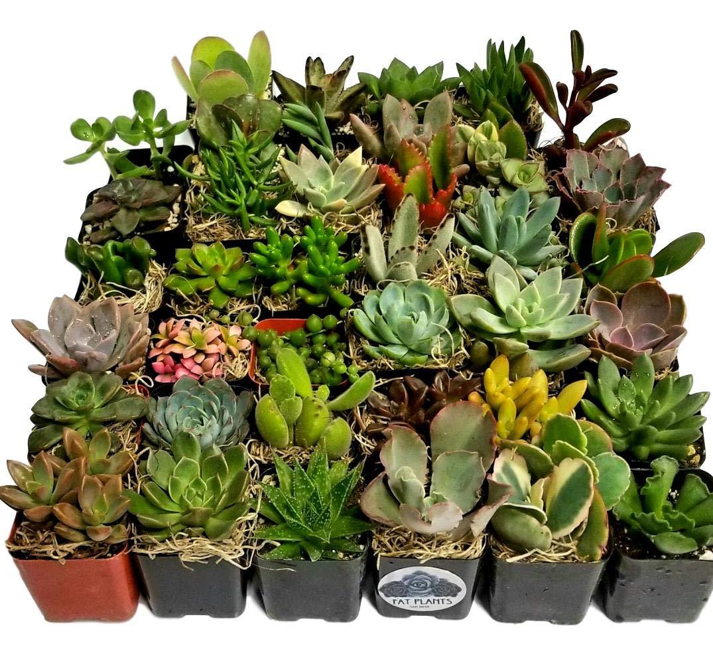Fat Plants San Diego Miniature Living Succulent Plants in Plastic Planter Pots with Soil