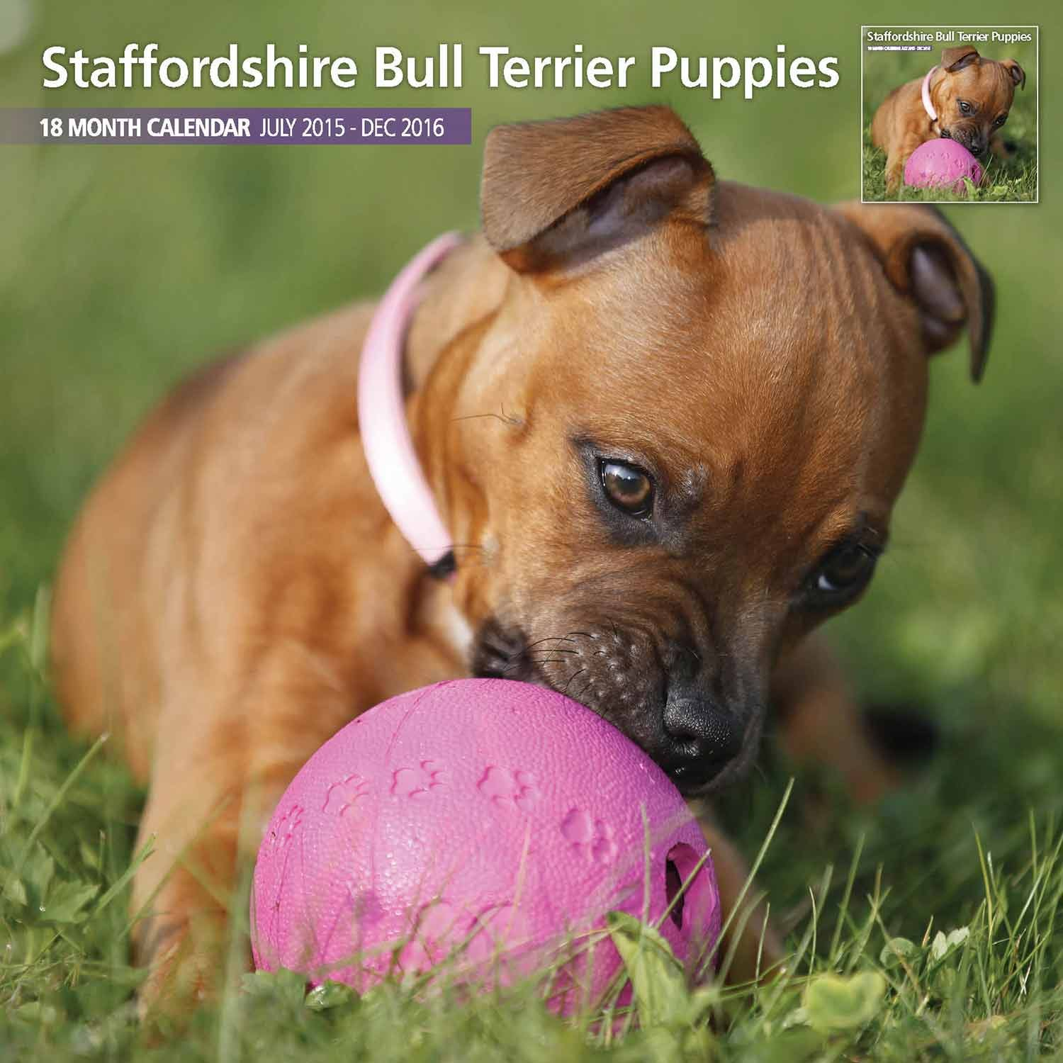 Magnet & Steel Staffordshire Bull Terrier Puppies 18 Month 2016 Traditional Wall Calendar (7217)