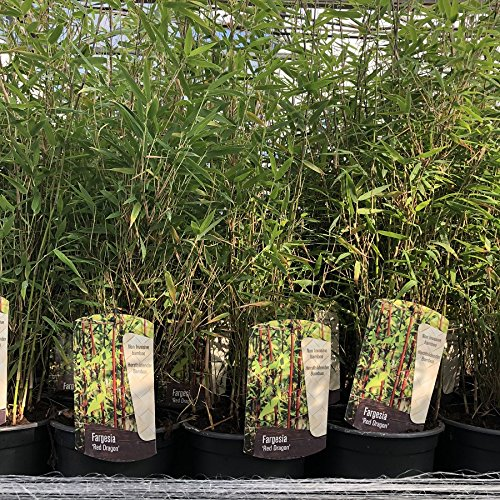 Red Dragon Bamboo. Bamboo Fargesia 50/60cm excluding Pot. Ideal for Shaded Areas Charellagardens Plants