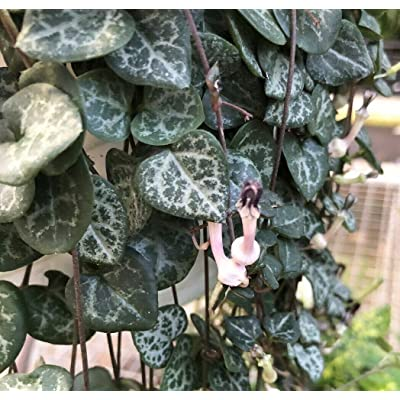 "AchmadAnam - 6"" HB - Rosary Vine - Ceropegia woodii - String of Hearts, Plant, Seed, Bulb : Garden & Outdoor"