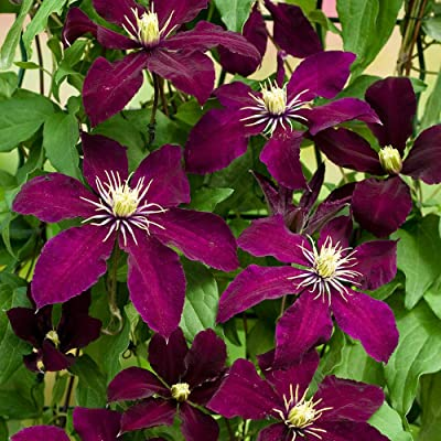 "AchmadAnam - Live Plant Magestic Niobe Clematis Vine Deep Ruby Red 2.5"" Pot : Garden & Outdoor"