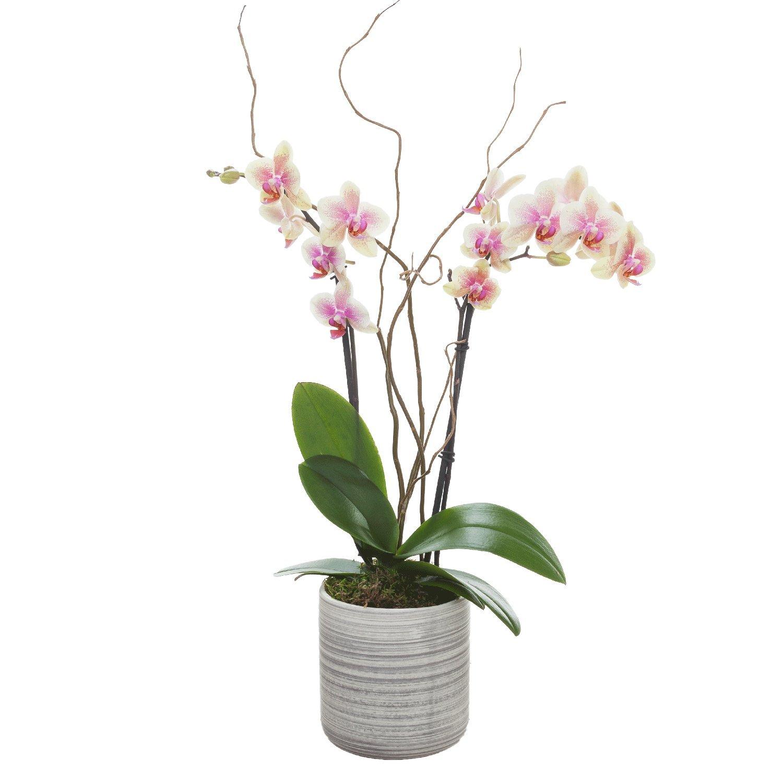 Living Phalaenopsis in Light Grey Ceramic pot - Petite Mango Blooms