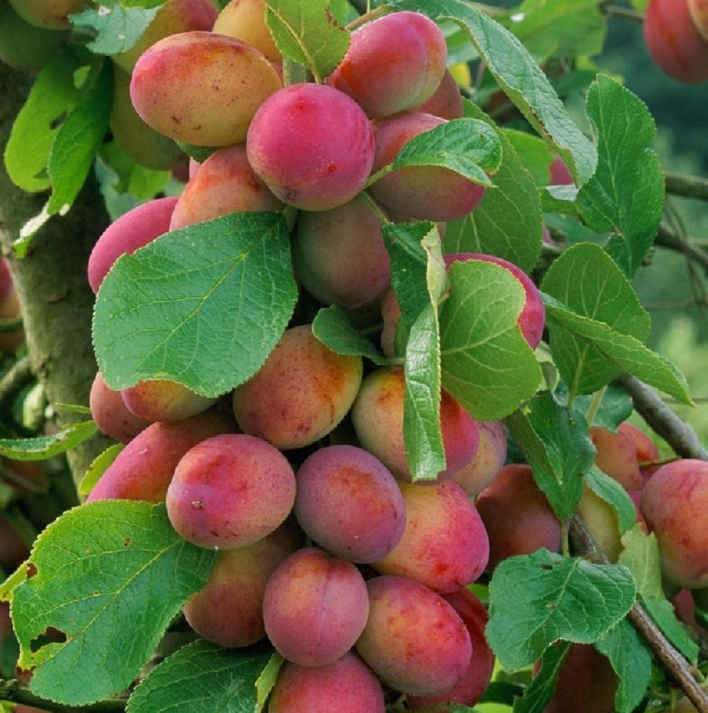 1 X 3-4FT DWARF VICTORIA PLUM FRUIT TREE - MINI FRUIT TREE - 5L Direct Plants