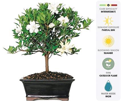 Amazoncom Brussels Live Gardenia Outdoor Bonsai Tree 6 Years