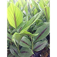 M-Tech Gardens Rare Black Turmeric Plant Rhizome (Curcuma caesia) 5 Rhizomes for Planting