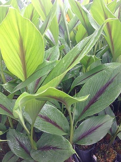 Azalea Garden Rare Black Turmeric Plant Rhizome (Curcuma caesia) 5 Rhizomes for Planting