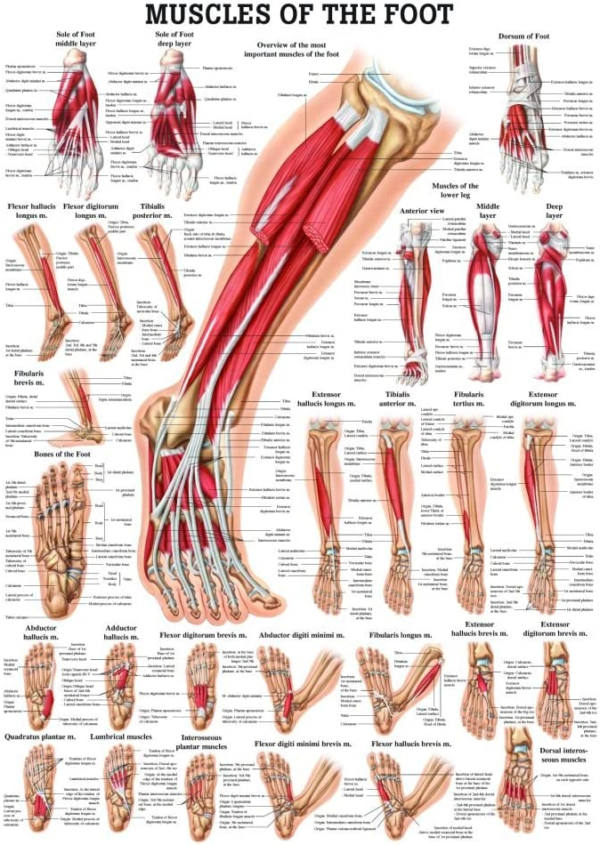 Foot And Ankle Anatomy Poster Lower Leg Joint Clinical Chart